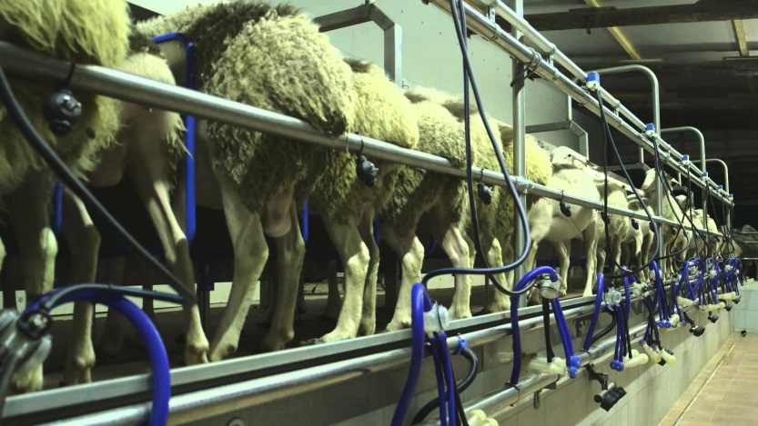 delaval sheep milking parlour