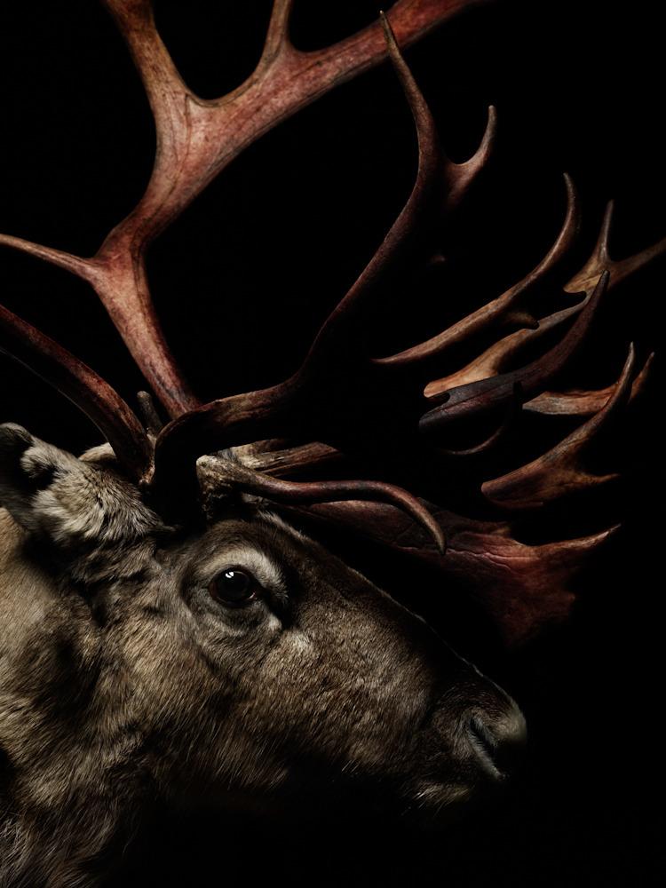 reindeers_e-j-2_849