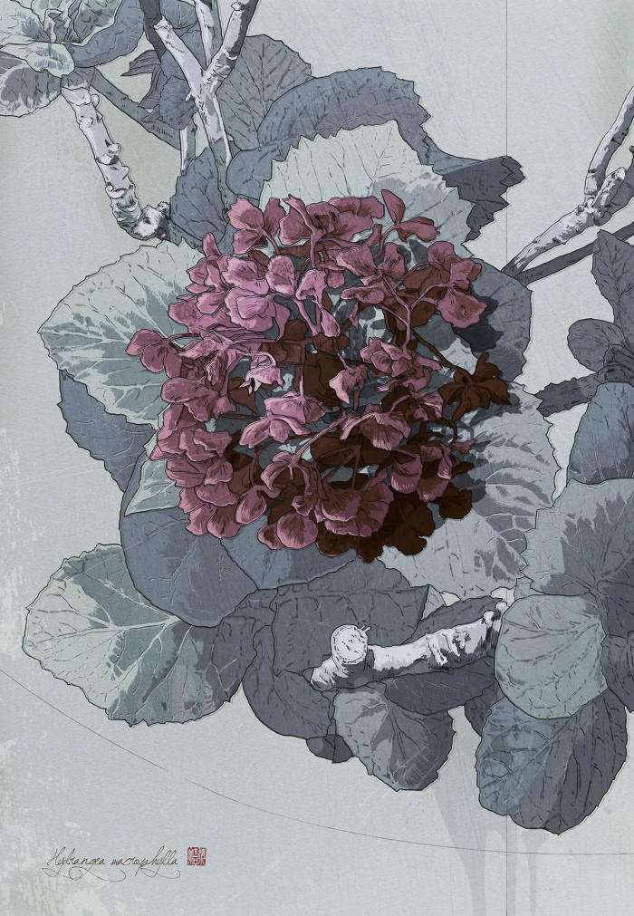 09-sdoshimizu-hydrangea-macrophylla-700x1011
