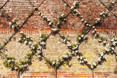 gardens illustrated_arne maynard_espalier1