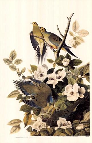 mourning-dove-by-john-james-audubon