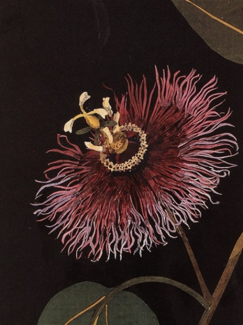 mary-delany-drawing-passion-flower_thumb
