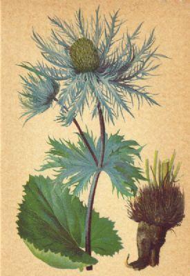alpenflora-alpine-flowers-eryngium-alpinum-l-alpen-mannstreu-old-print-1897-168094-p[ekm]275x400[ekm]