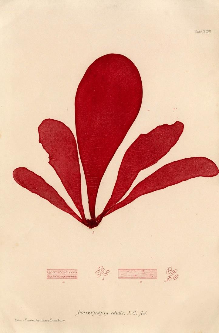 Henry Bradbury nature printed seaweed print