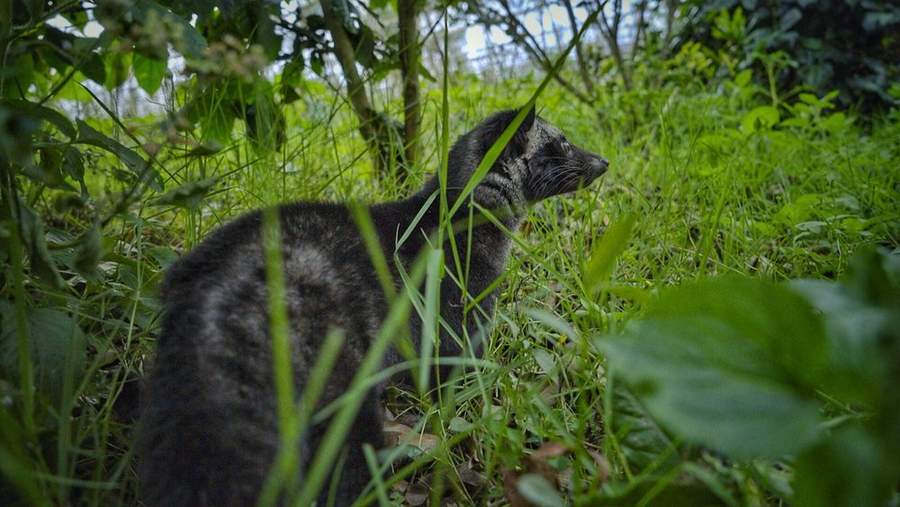 Luwak civet cats are semi arboreal - meaning they are comfortable both on the ground and in the trees.