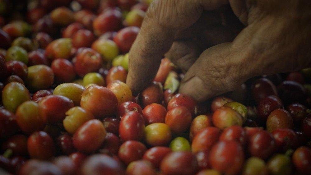 women picking beans.jpeg