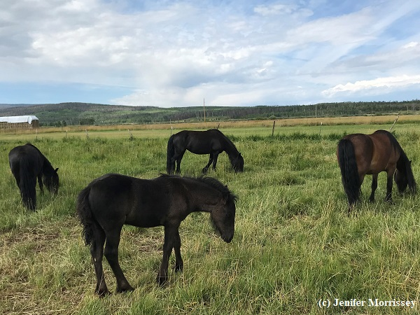 Willowtrail Fell Ponies