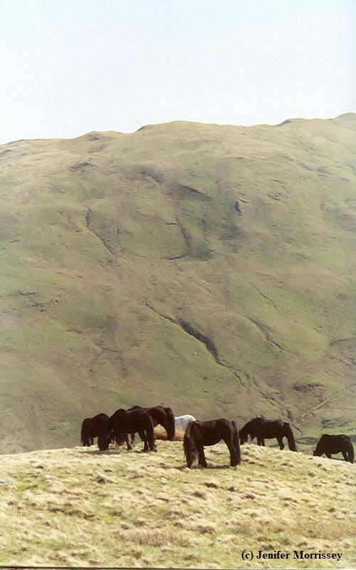 0505 Lunesdale herd3.jpg