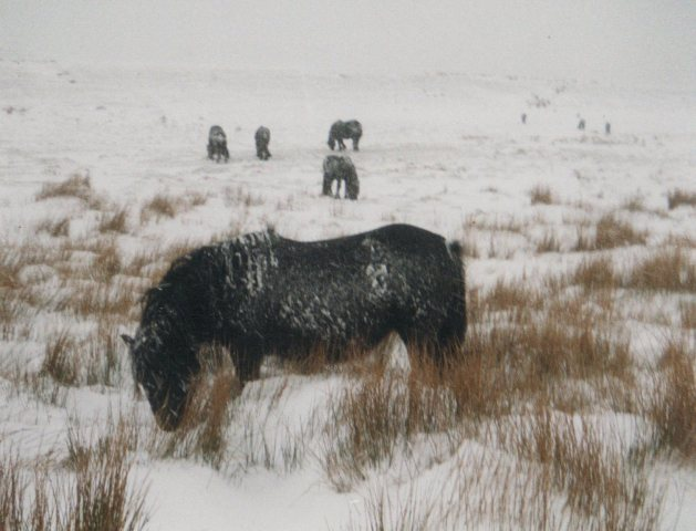Greenholme ponies in snow courtesy Bill Potter