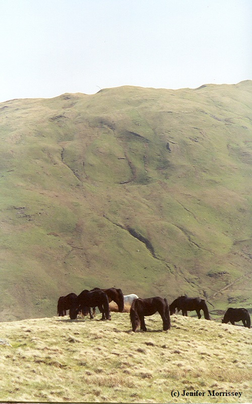 Lunesdale ponies on Roundthwaite Common