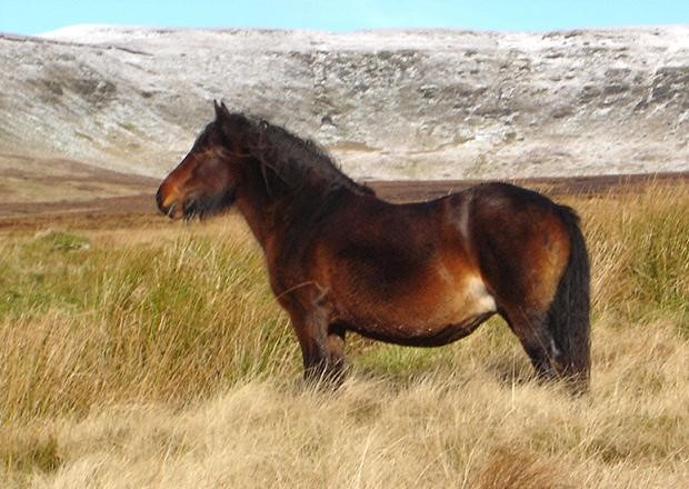 The new deceased Waterstolls Beauty II represents a rare bloodline. She is an example of conservation breeding: both her sire and dam represent rare bloodlines within the breed and passed that rarity to her. Photo courtesy Ian Smith, Bracklinn Fell Pony Stud