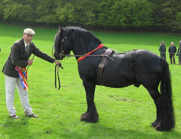 Lunesdale Warlord, mutli-time Supreme Champion stallion, is an example of a fell-bred show winner. Courtesy Carole Morland.