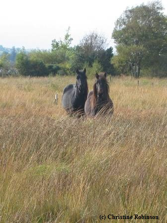 The Kerbeck Fell Ponies graze to improve habitat for butterfly breeding. Courtesy Christine Robinson