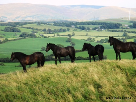 Nicola Evans' Fell Ponies perform conservation grazing at The Helm. Courtesy Nicola Evans