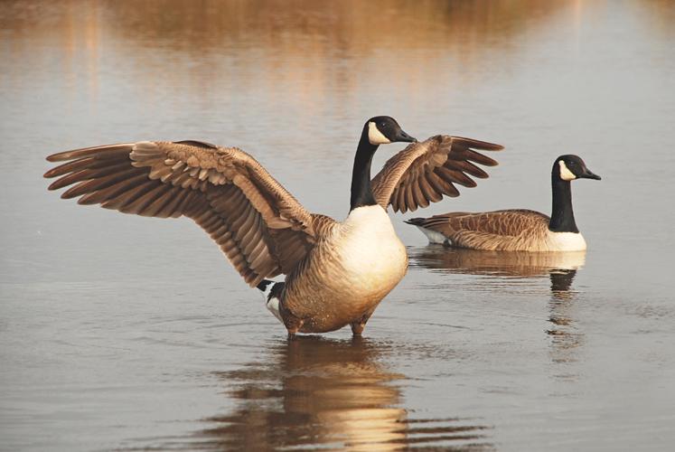 Canada-Geese.jpg