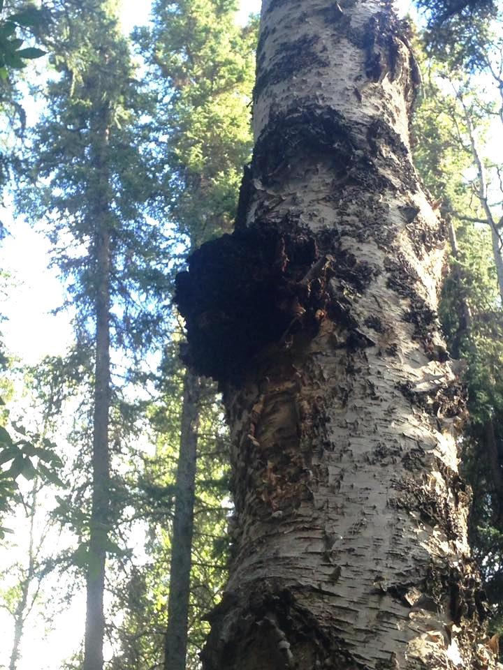 Chaga on a tree