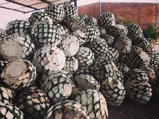 Ready for the heat! #agave #tequila #nationaltequiladay #jalisco #mexico #corazontequila