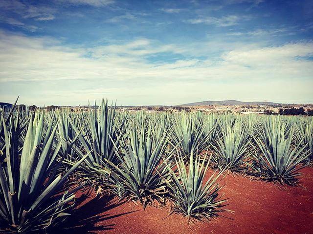 ¡La mejor vista! #agave #tequila #nationaltequiladay #jalisco #mexico #corazontequila