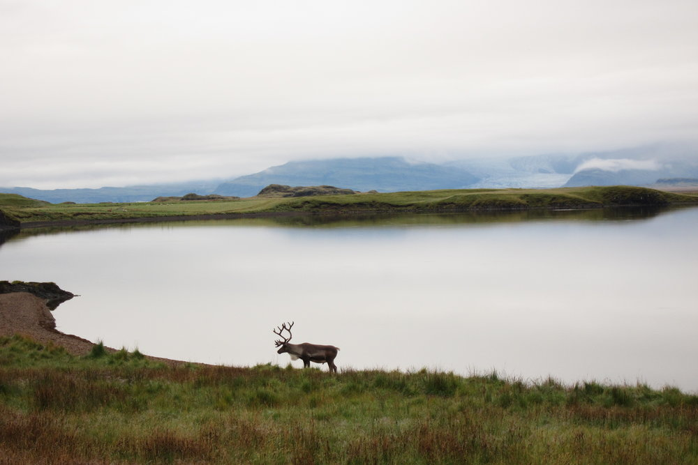 Spotted a reindeer in Iceland, off-the-beaten path!