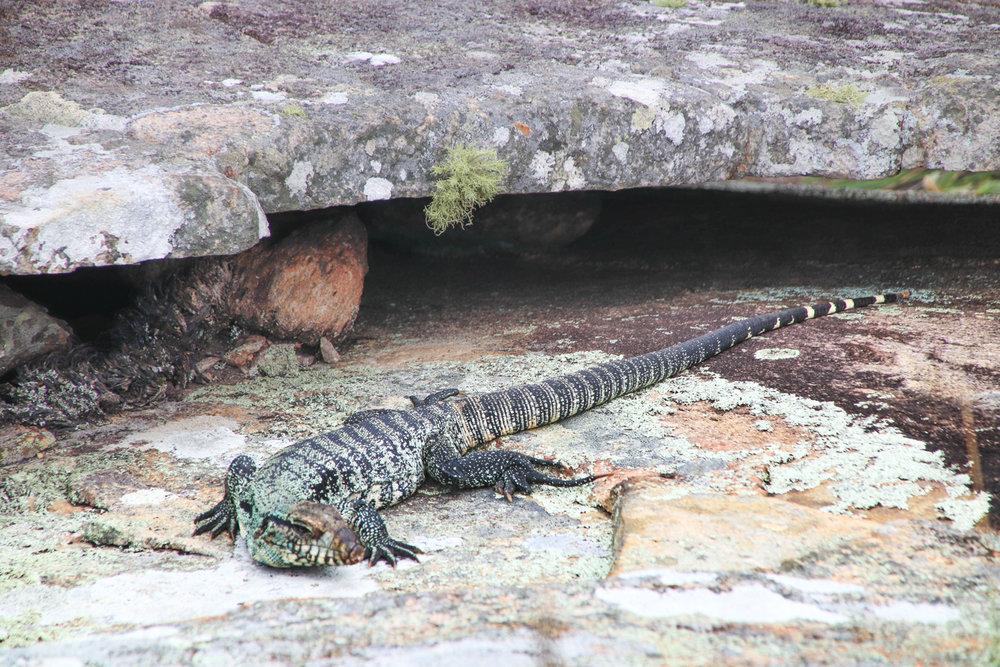 lizard-florianopolis-.jpg