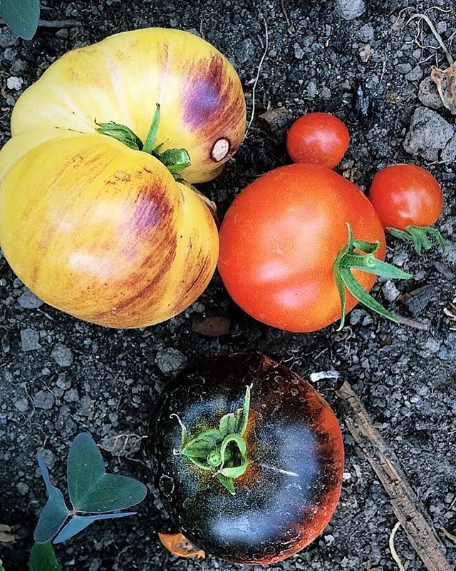One seed at a time 🌿🍅 Thank you @kokopellisemences @terroirist_bxl  #diversity #localfood #local #tomatoes #inspiration #foodphotography #seeds #food #growyourown #growyourownfood
