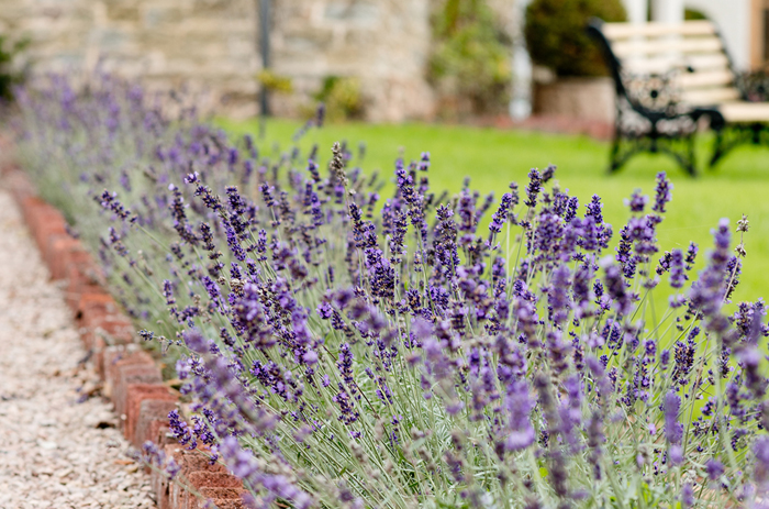 Lavender paths and borders can look wonderful in every location be it London, Surrey or Gloucestershire. They can look very special in tubs and window boxes in town. Many clients have used them in Chelsea, Fulham and Mayfair.