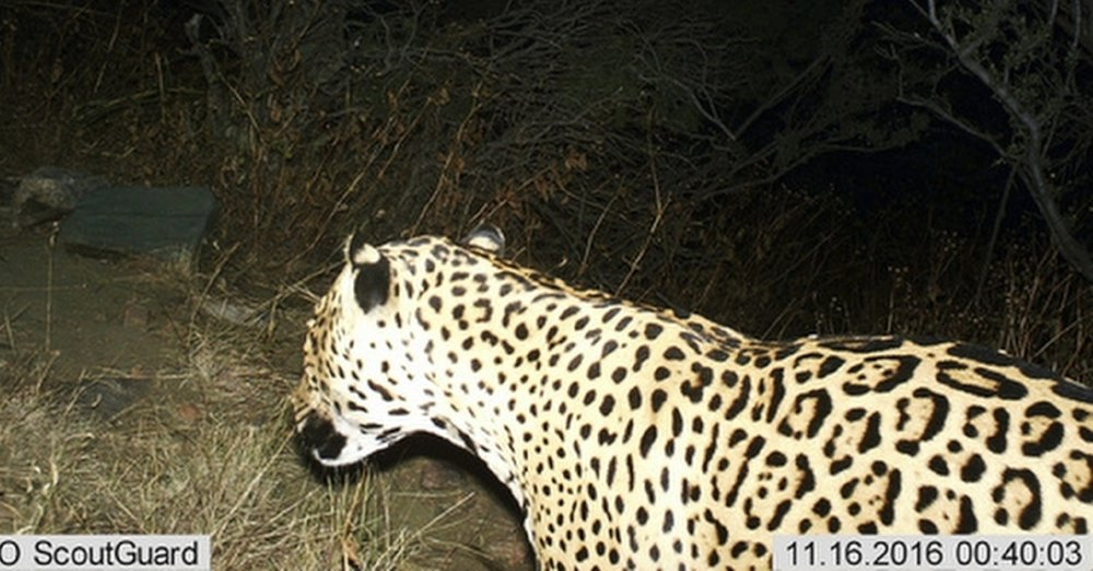 This photo shows a Jaguar photographed by a motion-detection camera in the Dos Cabezas Mountains in southern Arizona. The Center for Biological Diversity and U.S. Rep. Raul Grijalva filed what they said is the first federal lawsuit on Wednesday, April 12, 2017, in Tucson against the proposed border wall. Wildlife conservationists said the wall would be detrimental to rare animals such as jaguars and ocelots that are known to traverse the international line. (Bureau of Land Management/U.S. Fish and Wildlife Service via AP, File)