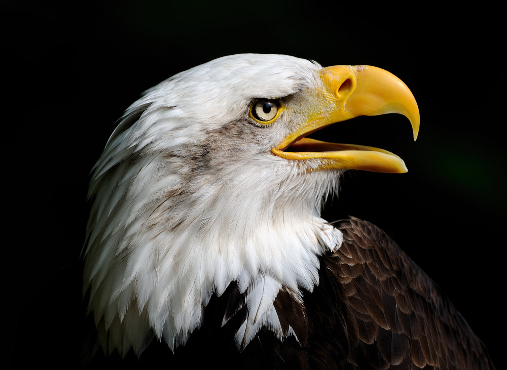 The bald eagle is one of the few species that has recovered enough to be removed from the federal list of endangered species. Banning the pesticide DDT and protecting its habitat brought the eagles back from the brink of extinction. The species was delisted on August 9, 2007. Photo: Jez/flickr