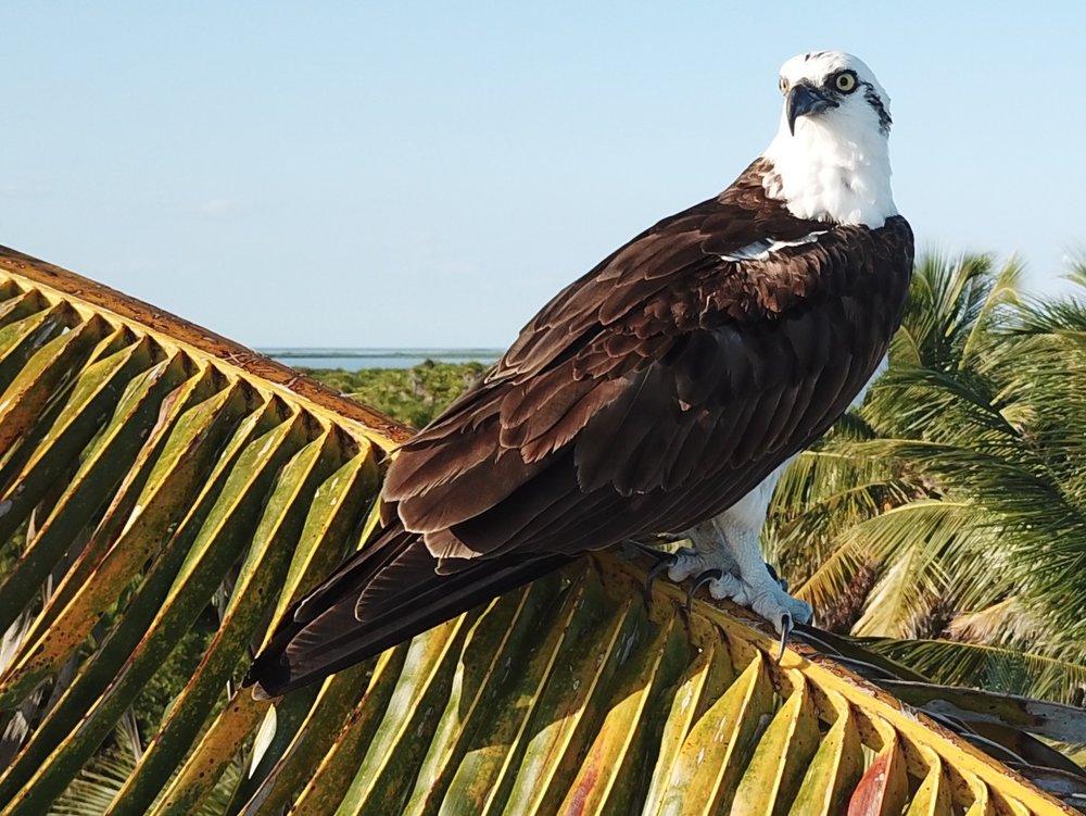 Na'iik's resident Osprey