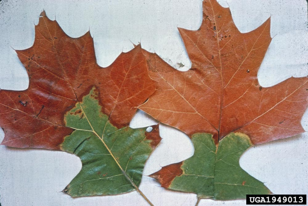 Discolored leaves from a Red Oak tree infected with Oak Wilt.