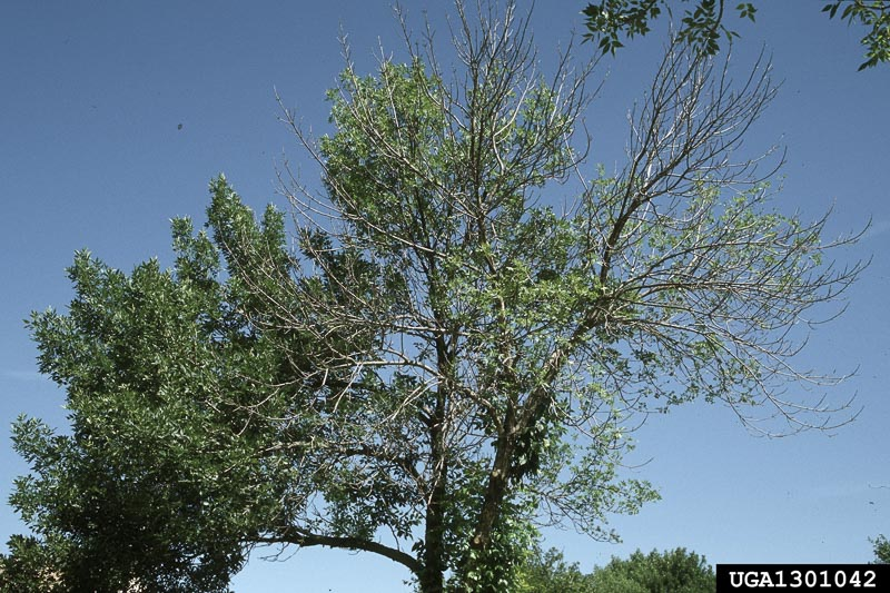 Crown defoliation due to Emerald Ash Borer infestation.