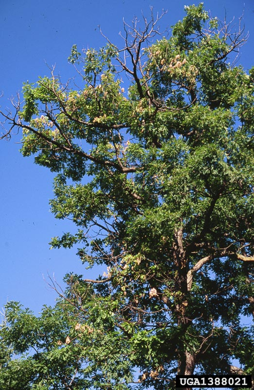 Tree infested by Two Line Chestnut Borer. Note partial defoliation.