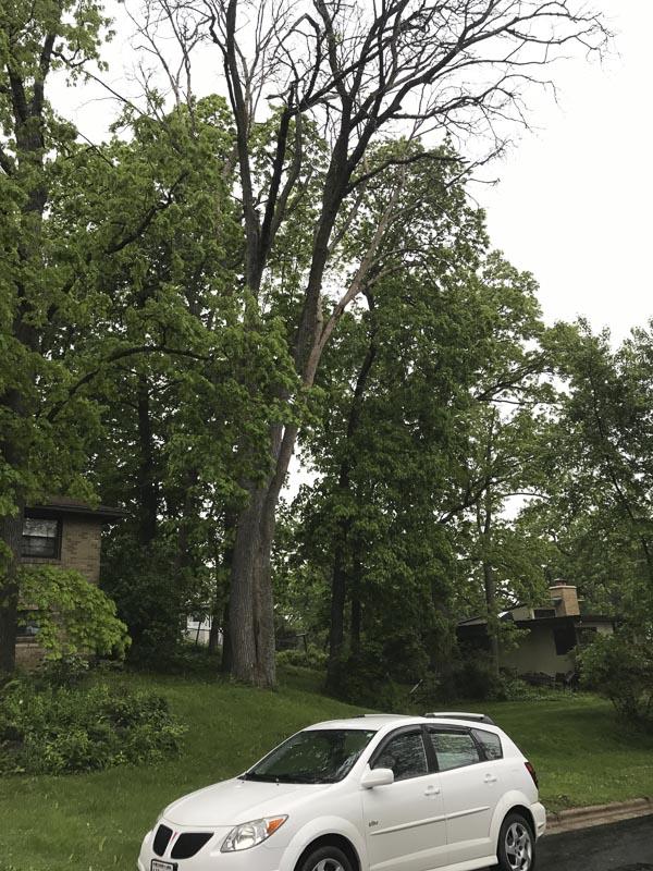 Elm tree infected by Dutch Elm disease.