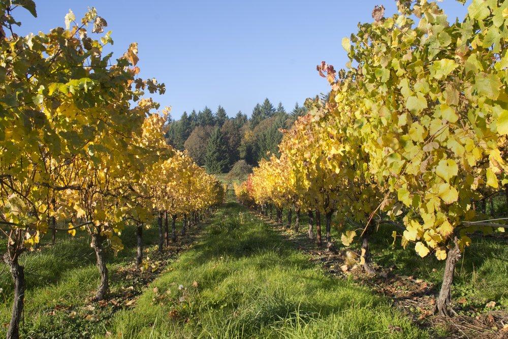 vineyard-1279618.jpg