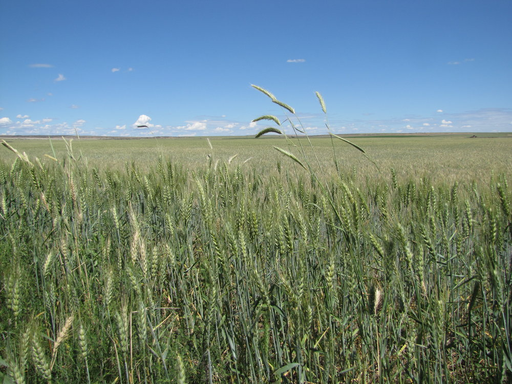 If you look closely at this photo of a wheat field, you can see the taller plants are Cereal rye. Cereal rye is a serious concern in wheat fields.