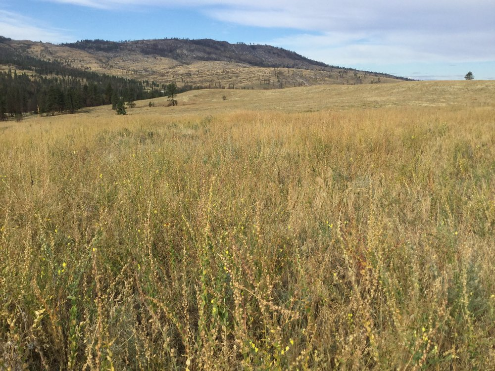 Pictured above shows a mass of dried and dead Dalmatian toadflax plants. This area was burned in 2015.