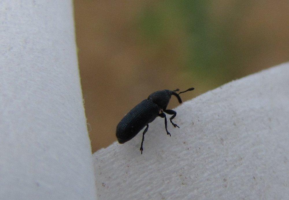 Mecinus janthiniformis