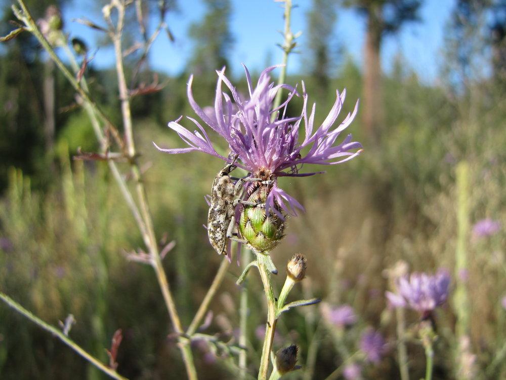 Cyphocleonus achates, knapweed root boring weevil