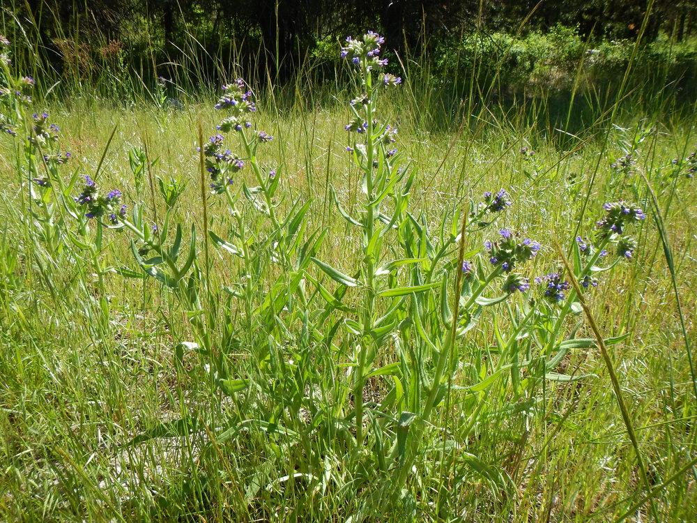 Common bugloss