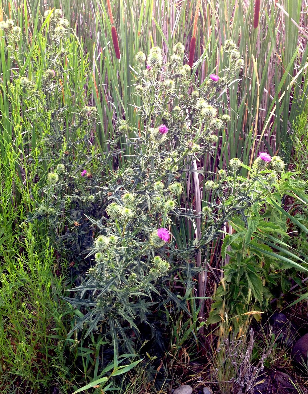 A mature bull thistle plant. Bull thistle is usually found growing in disturbed sites; such as recently logged areas and overgrazed pastures.