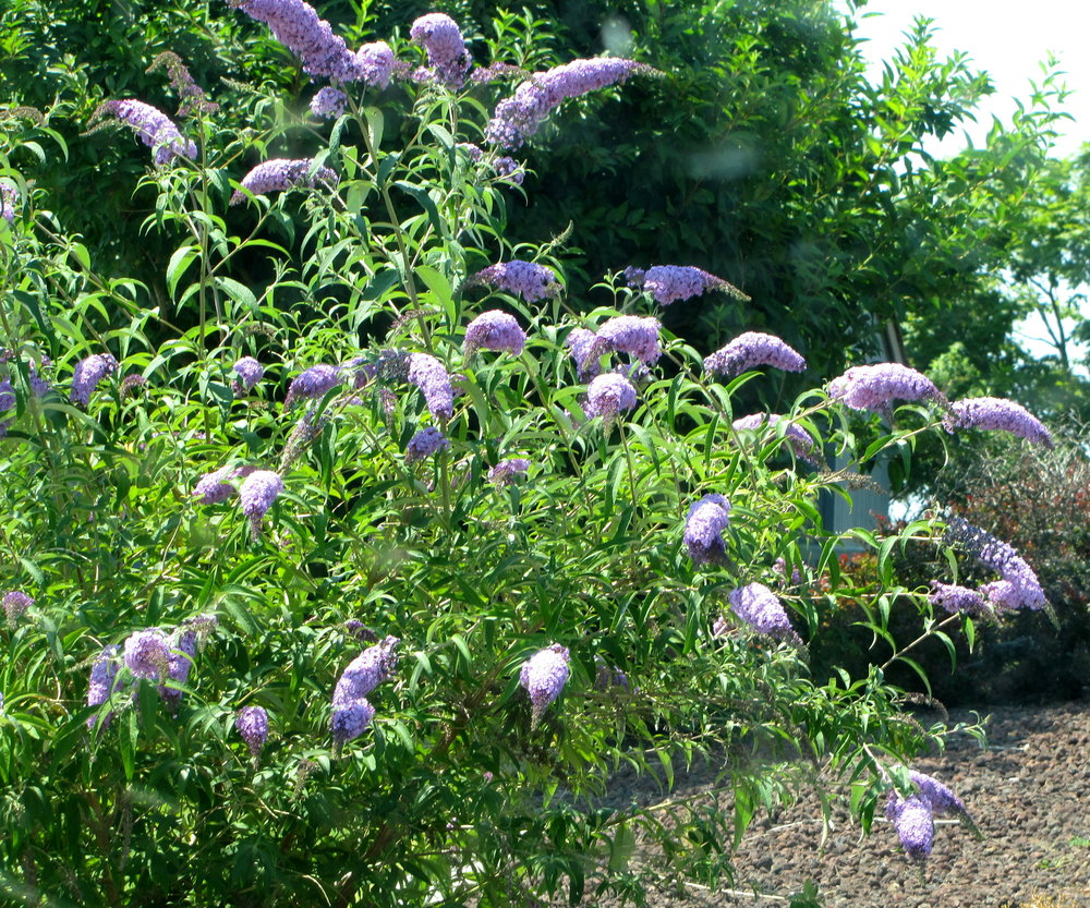 Butterfly bush is not currently a problem on the Colville Reservation, but this plant has been shown to be extremley weedy in riparian areas on the west side of the state.