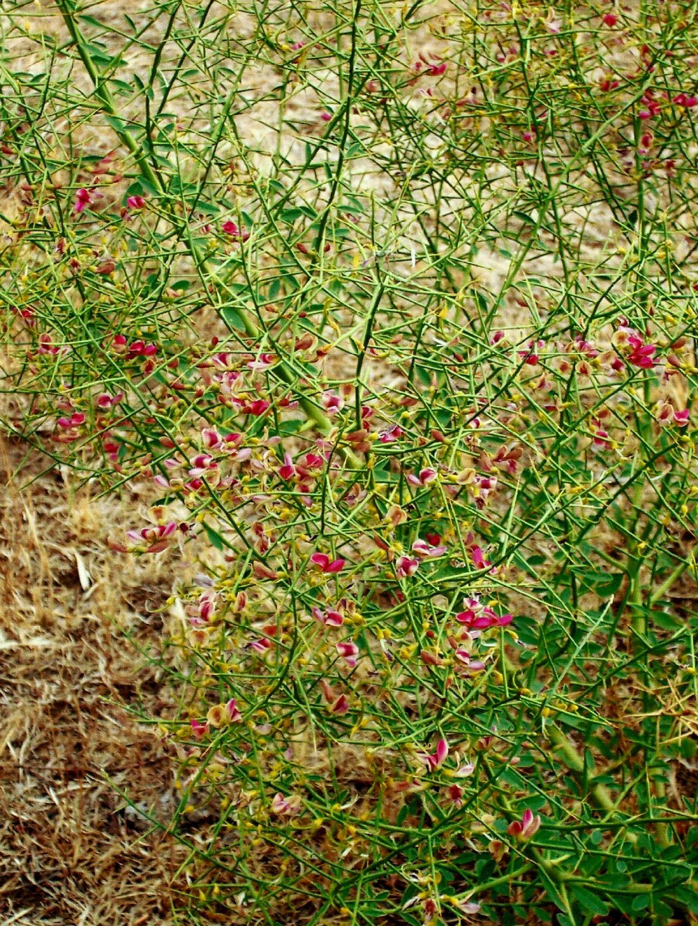 Camelthorn is not known to currently exist on the Colville Reservation, if you think you have found this plant please call 509-634-2338 to report it.