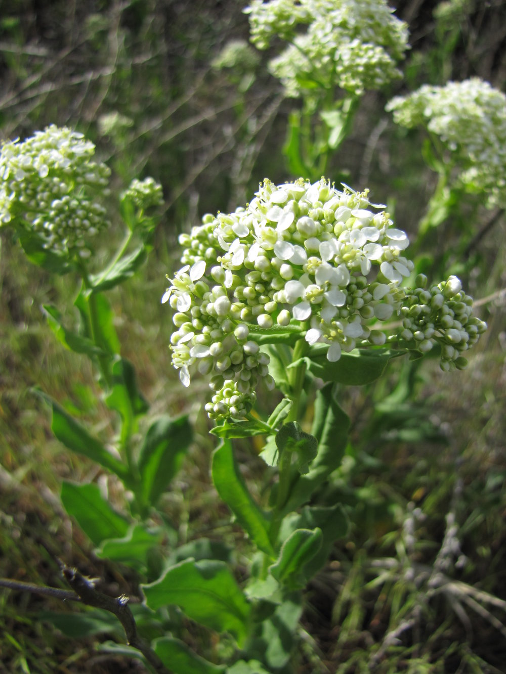 Hoary cress in flower