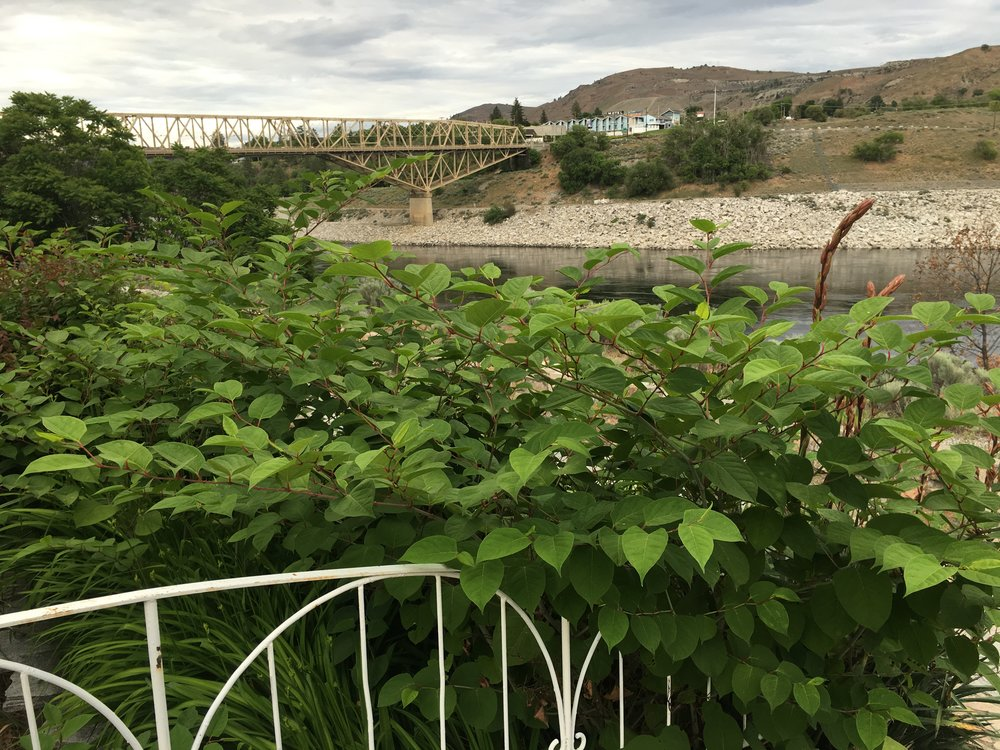 Japanese knotweed is often mistakenly planted as an ornamental. Once established it is extremely difficult to remove. Japanese knotweed is a serious threat to Washington waterways.
