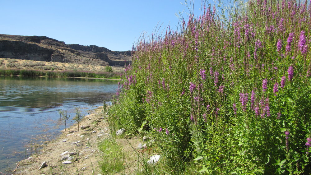 In this photograph Purple loosestrife invades the shoreline of an entire lake in the Quincy Lakes area. There are several small populations of purple loosestrife on the Colville Reservation.