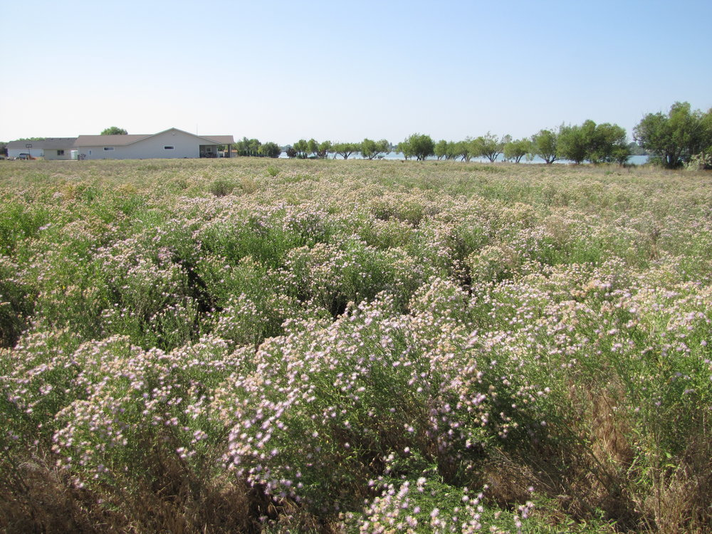 Russian knapweed infestation. This plant releases toxins in the soil prohibiting anything else from growing.