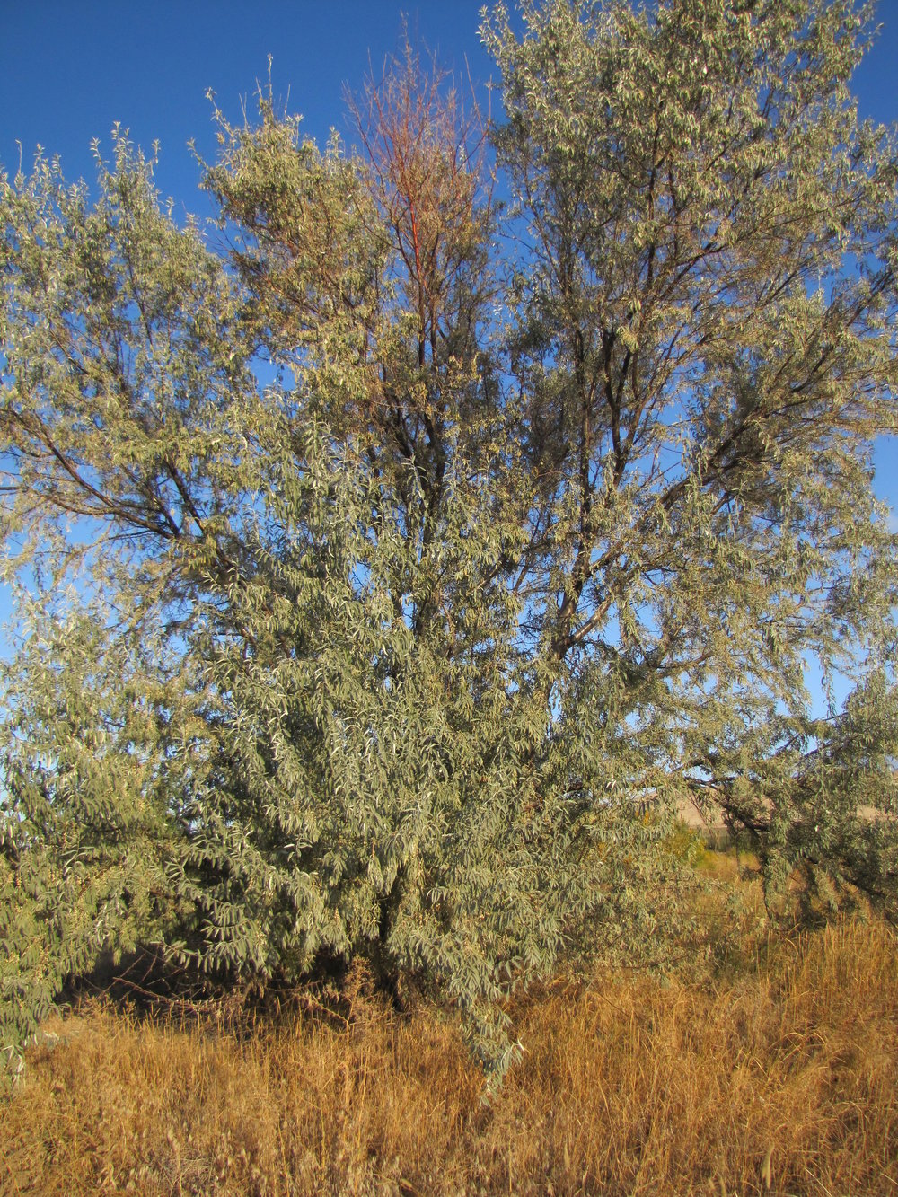 A mature Russian Olive tree.