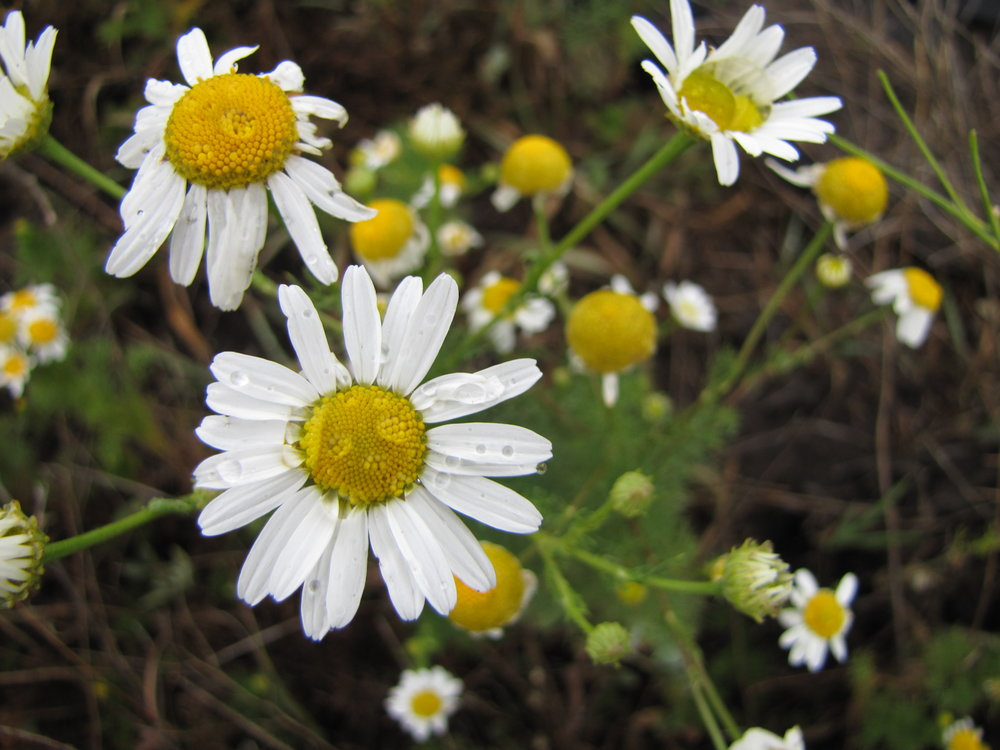 Scentless mayweed grows along roadsides, fence lines, waste areas, in perennial forage crops, cultivated fields and particularly on heavy soils.