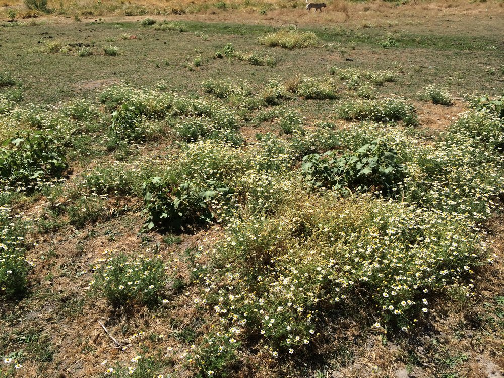 Scentless mayweed can quickly take over an overgrazed pasture as seen in this photo.