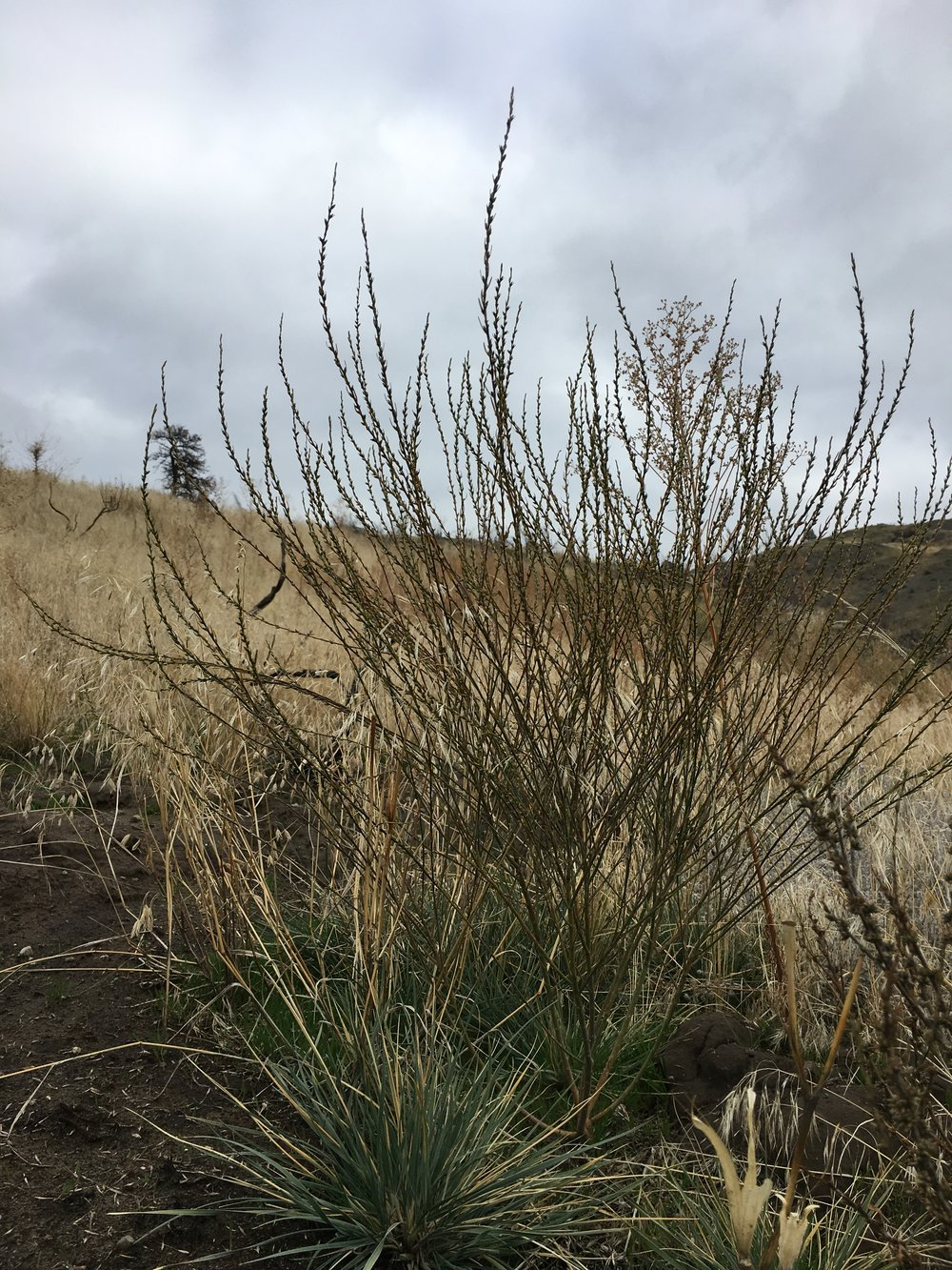 Spurge flax is not known to exist on the Colville Reservation, however it is found near the town of Riverside. If you think you have found this plant please call 509-634-2338.
